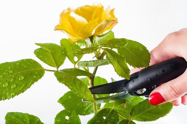 Срезает розу