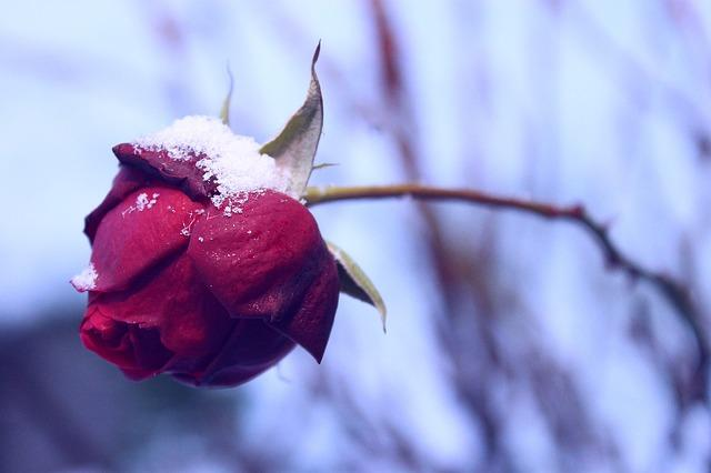 Завявшая роза под снегом