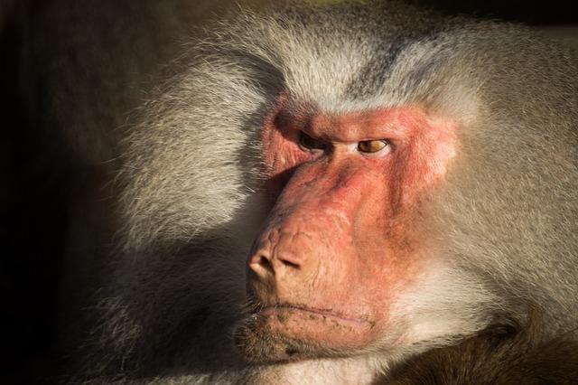 Сердитый бабуин