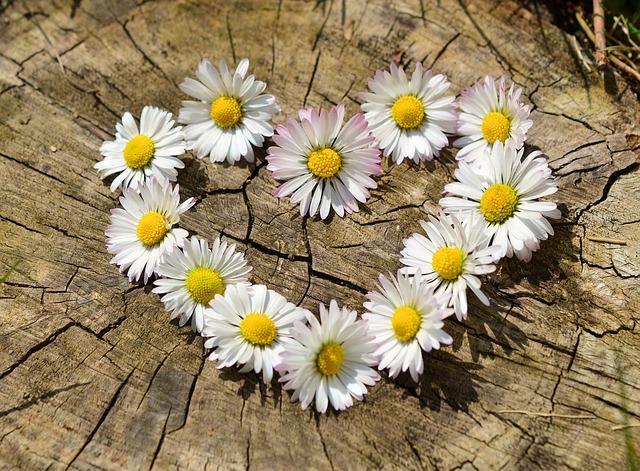 Сердце из цветов ромашки