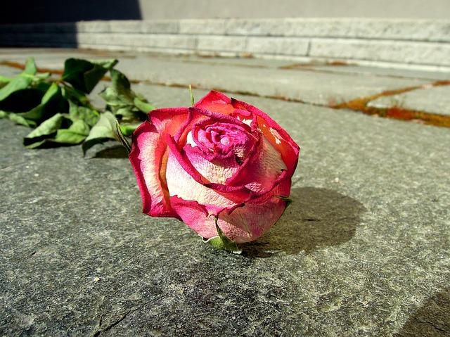Завянувшая роза на асфальте