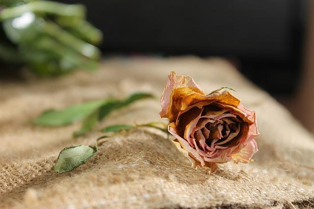 Завянувшая роза